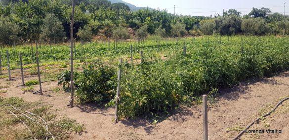 Vini di Olivella sulle pendici del Vesuvio